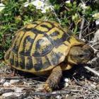 Een winterslaper als huisdier: de Griekse landschildpad