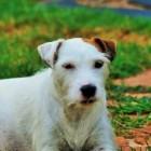 De Parson Russell Terrier