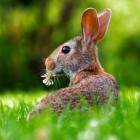 Herkomst van het konijn