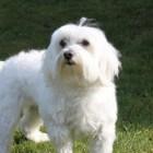 Hondenras: de Maltezer