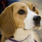 Info over de Beagle