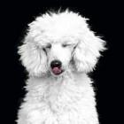 0239c981d83 Hondenras: de Poedel   Dier en Natuur: Huisdieren