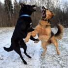 Rangorde bij honden en wolven