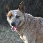Hondenras: Australian Cattle Dog