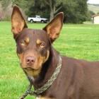 Hondenras: Australian Kelpie