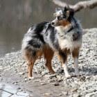 Hondenras: Australian Shepherd