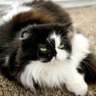 Vachtverzorging van katten - Voeding, shampoo, supplementen