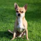 Chihuahua, kleinste hond ter wereld