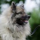 De Grijze Keeshond (Wolfsgrauwe)
