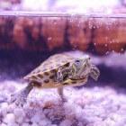 Waterschildpad als huisdier