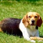De beagle: opvoeding van uw pup