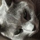 De mooie Blauwe Rus, een kat in balans