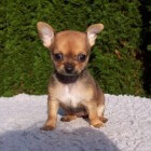 De chihuahua: kleiner dan klein, maar wel moedig