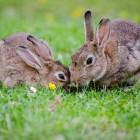 Tamme konijnen de winter door helpen