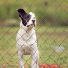 Demodicose bij honden