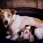 Bevalling van de hond