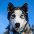 Siberische husky: sledehond