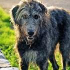 Ierse Wolfshonden - de zachtaardige reuzen onder de honden