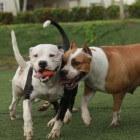 Een hond aanschaffen: één hond of meerdere honden?