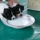 De eerste week in het leven van een pup