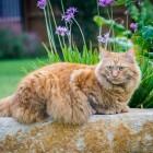Rasbeschrijving kat: De Maine Coon