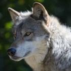 Hond, afstammeling van de wolf