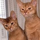 Sterilisatie bij de kat