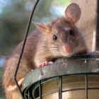 De oudere tamme rat