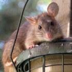 De tamme rat als huisdier: hoe omgaan met ouder wordende rat