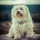 Hondenras: Havanezer (gezelschapshondje)