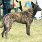 Hondenras: Hollandse Herdershond