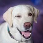 Labrador retriever - Een betrouwbare rashond