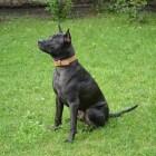 Hondenrassen: Thai Ridgeback Dog