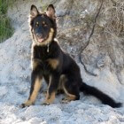 De Oudduitse herdershond