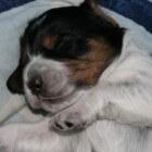De tweede week in het leven van een pup