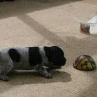 De derde week in het leven van een pup