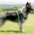 Hondenrassen: Shiloh Shepherd
