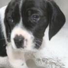 De vierde week in het leven van een pup
