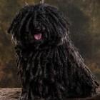 Hondenrassen: Puli (Hongaarse herdershond)