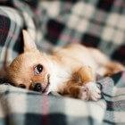 Chihuahua: puppy aanschaffen en opvoeden