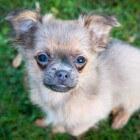 Chihuahua: puppy ophalen, een goed begin