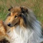 De Schotse herdershond en de border collie