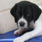 De zesde week in het leven van een pup