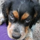 De achtste week in het leven van een pup
