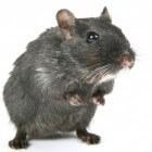 Zelf speeltjes maken voor ratten