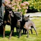 Rashonden: Mexicaanse naakthond
