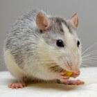 De Husky rat: een tamme rat met grijs en witte tekening