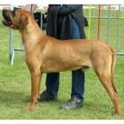Hondenrassen: Tosa Inu