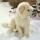 Hondenrassen: Kuvasz