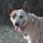 De Australian Cattle Dog